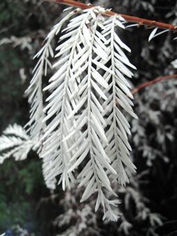 Albino redwood needles.