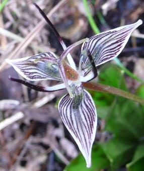 Fetid adder's tongue (Scoliopus biglovii)