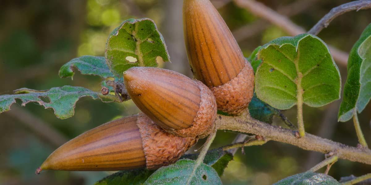 Live oak acorns.