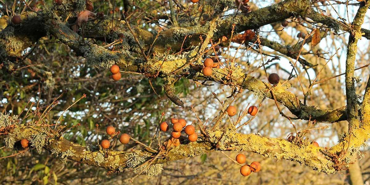 Oak galls form on an oak tree.