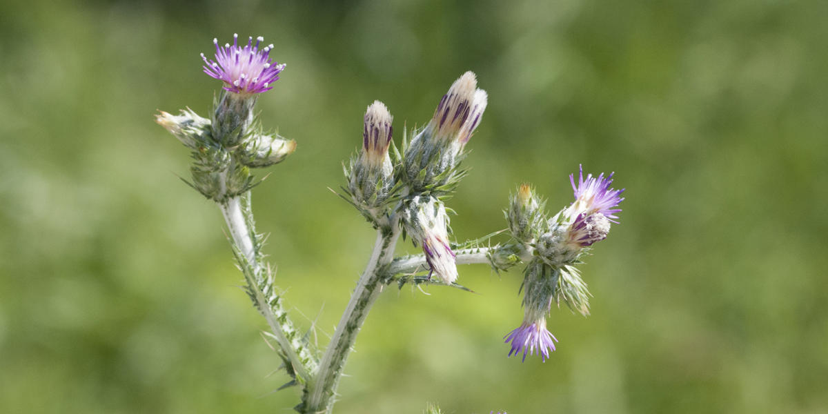 A long, spikey green plant with purple flowers grows along a trail