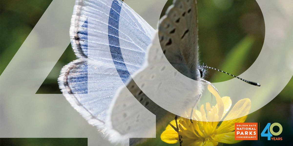 Mission blue butterfly seen landing on a yellow flower.