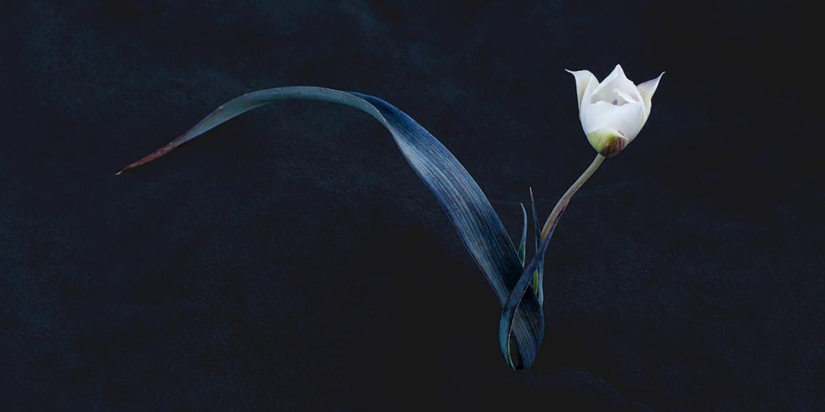 Oakland star tulip (Calochortus umbellatus), Marin Municipal Water District, Mt. Tamalpais, © Rob Badger and Nita Winter