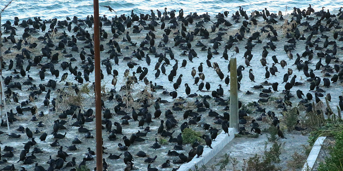 Cormorants nest in a large colony on Alcatraz