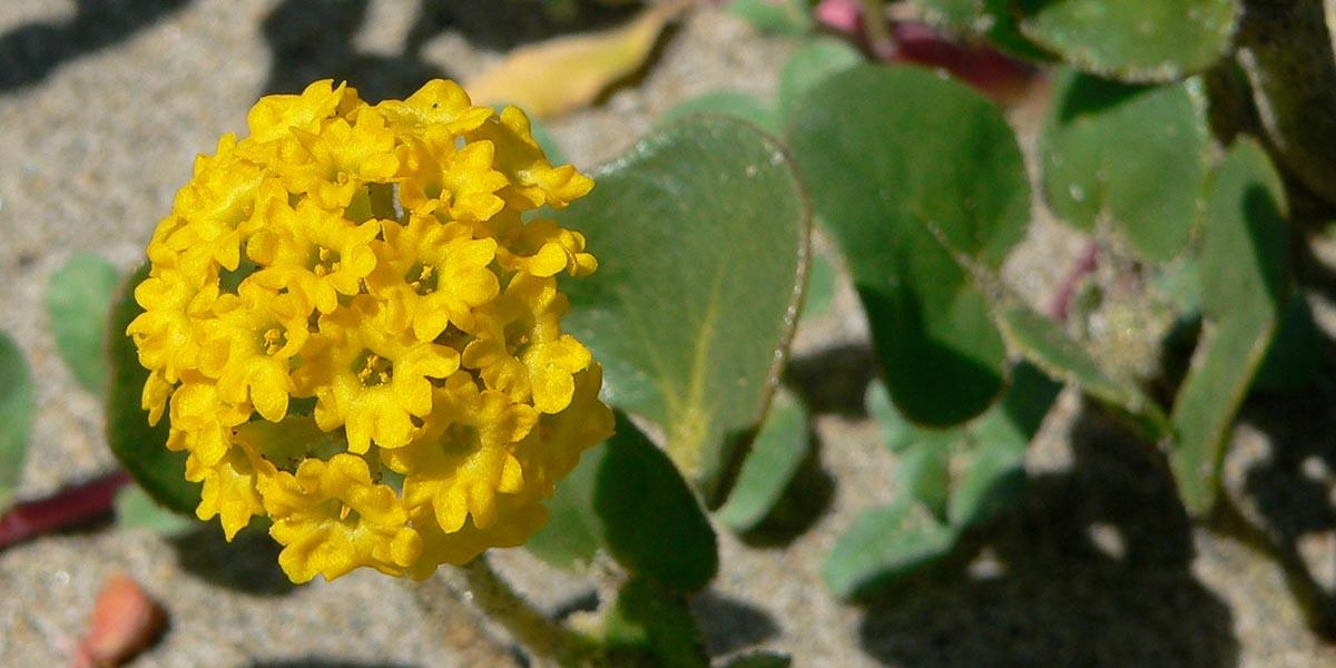 Yellow Sand Verbena (Abronia latifolia), at Crissy Field's sand dunes.