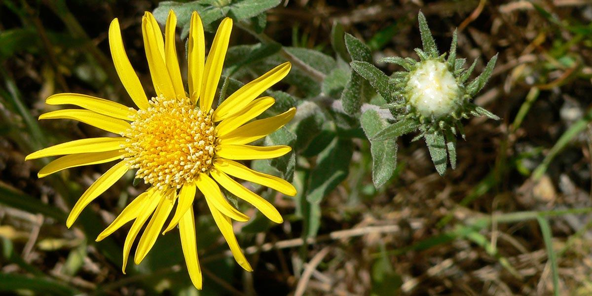 Hairy Gumplant (Grindelia hirsutula) along Conzelman Road in the Marin Headlands.