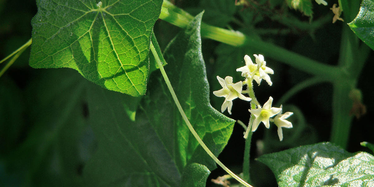Wild Cucumber, or California Manroot, (Marah fabaceus, Cucurbitaceae family), along the Battery East Trail, Presidio