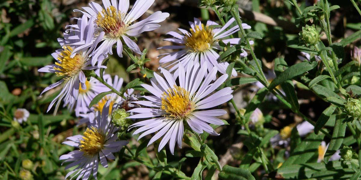 A California aster wildflower, often found in the Golden Gate National Parks.