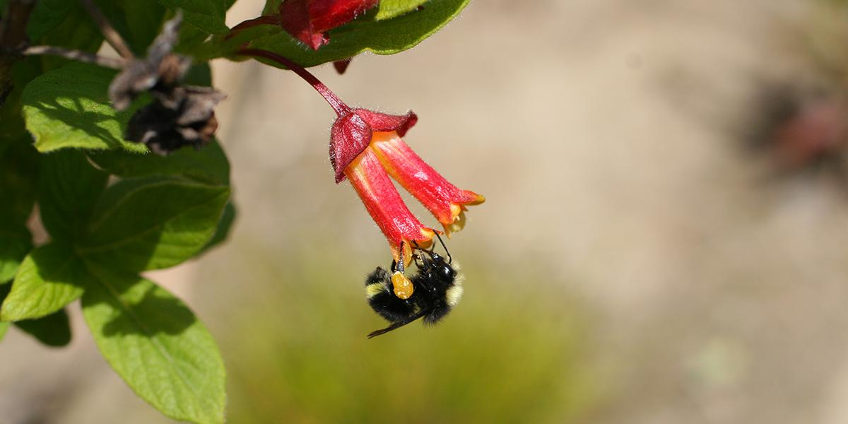 Bumble Bee (Bombus sp.) in the Golden Gate National Recreation Area