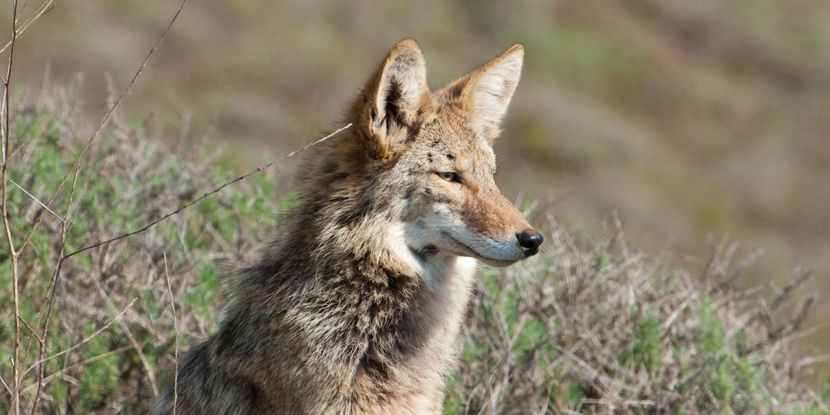 Coyote in the Golden Gate National Parks