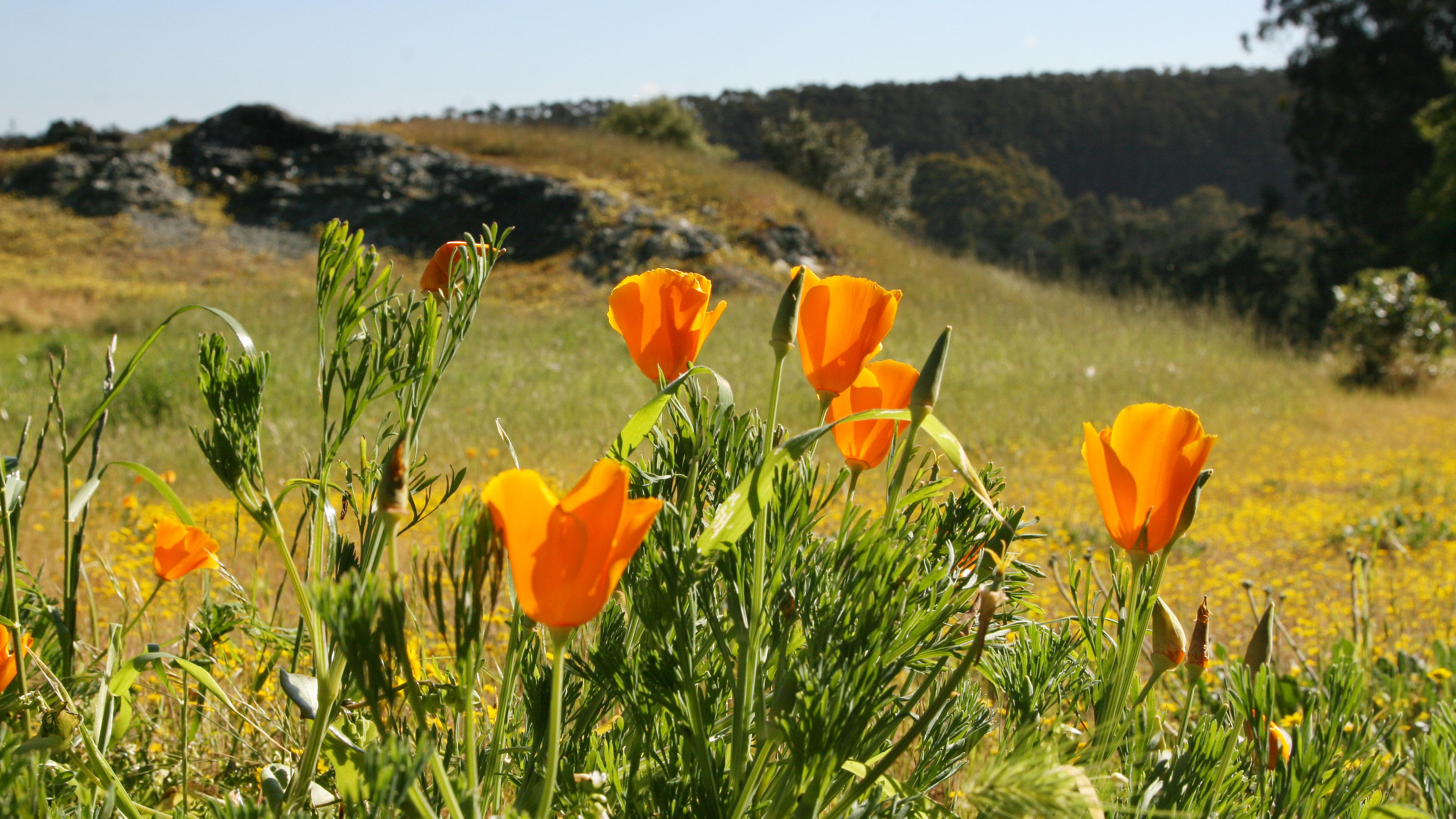 California poppies seen in the Golden Gate National Parks.