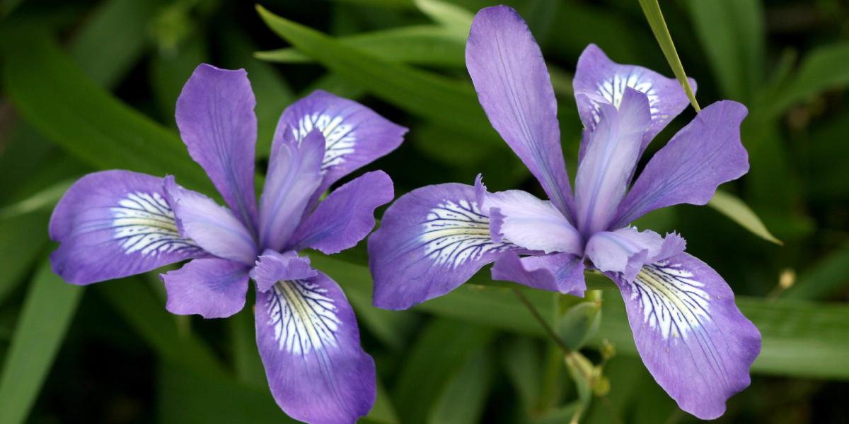 Iris douglasiana (Douglas Iris)
