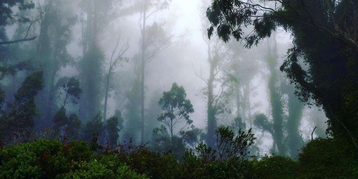 fog drifts through a coastal forest