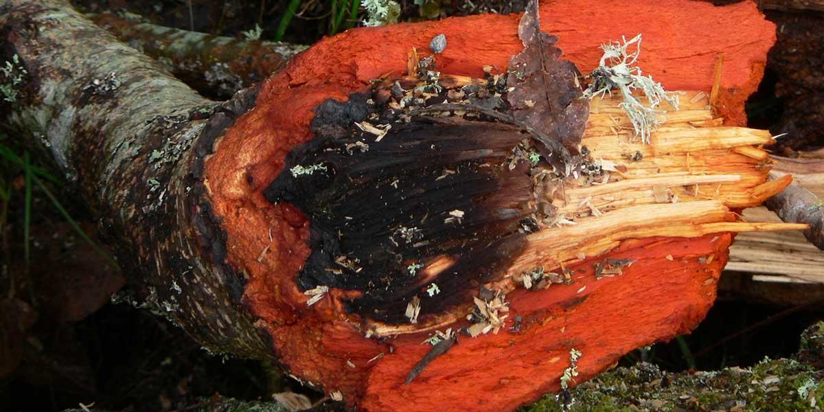 Red alder tree showing red bark.