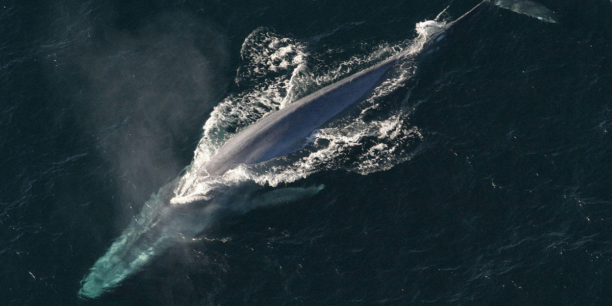 An adult blue whale swims in the ocean