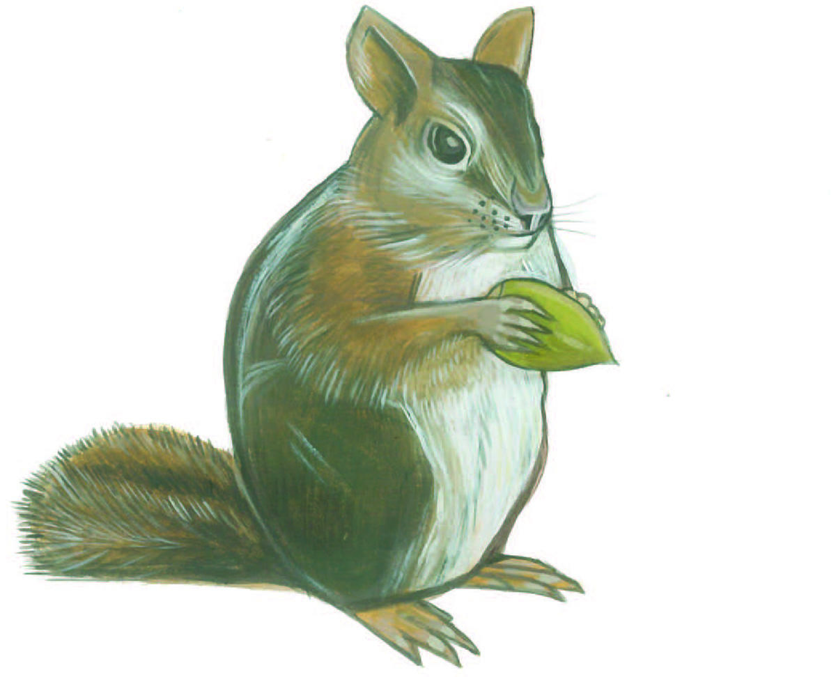 Illustration of a Sonoma chipmunk by Grey Arena.