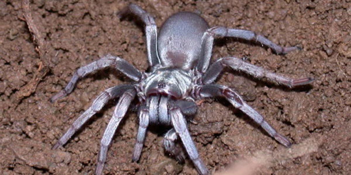 Calisoga spider