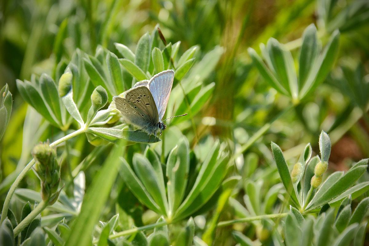 Mission blue butterfly on lupine plants