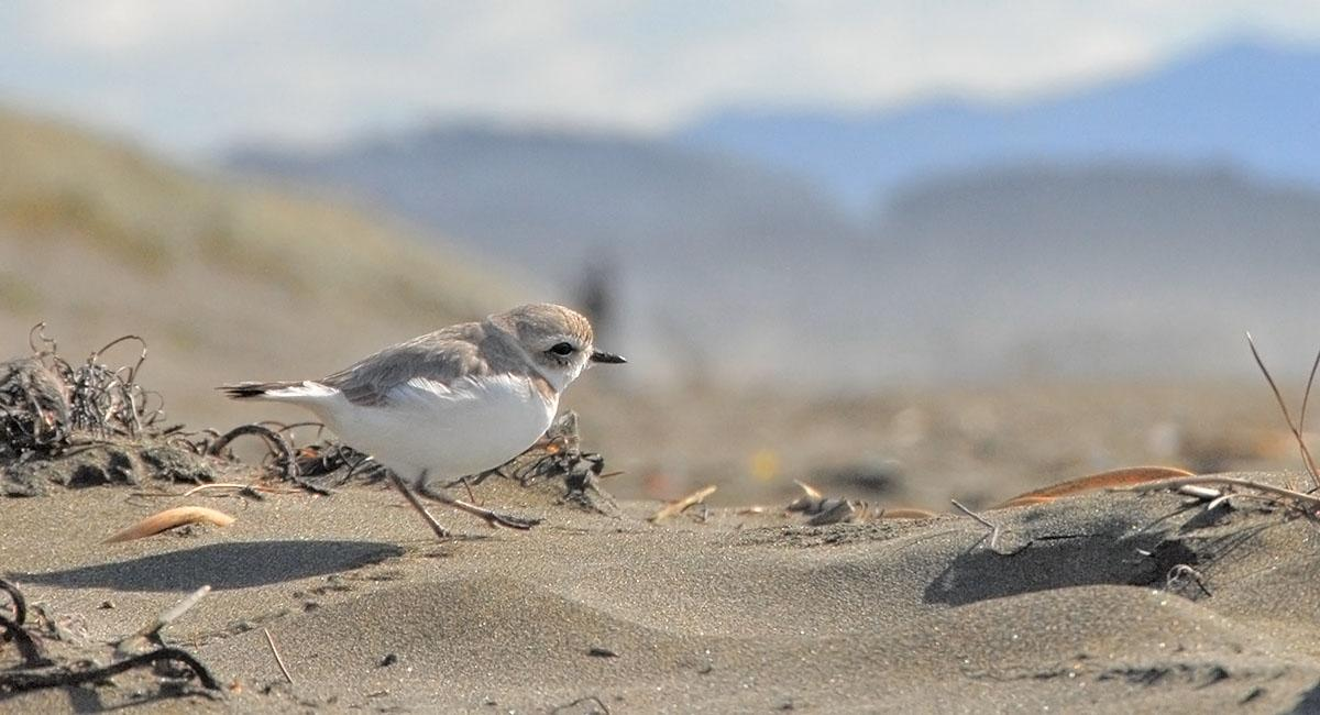 Small, sand-colored bird walking across a beach leaving a trail of tiny footprints in the sand