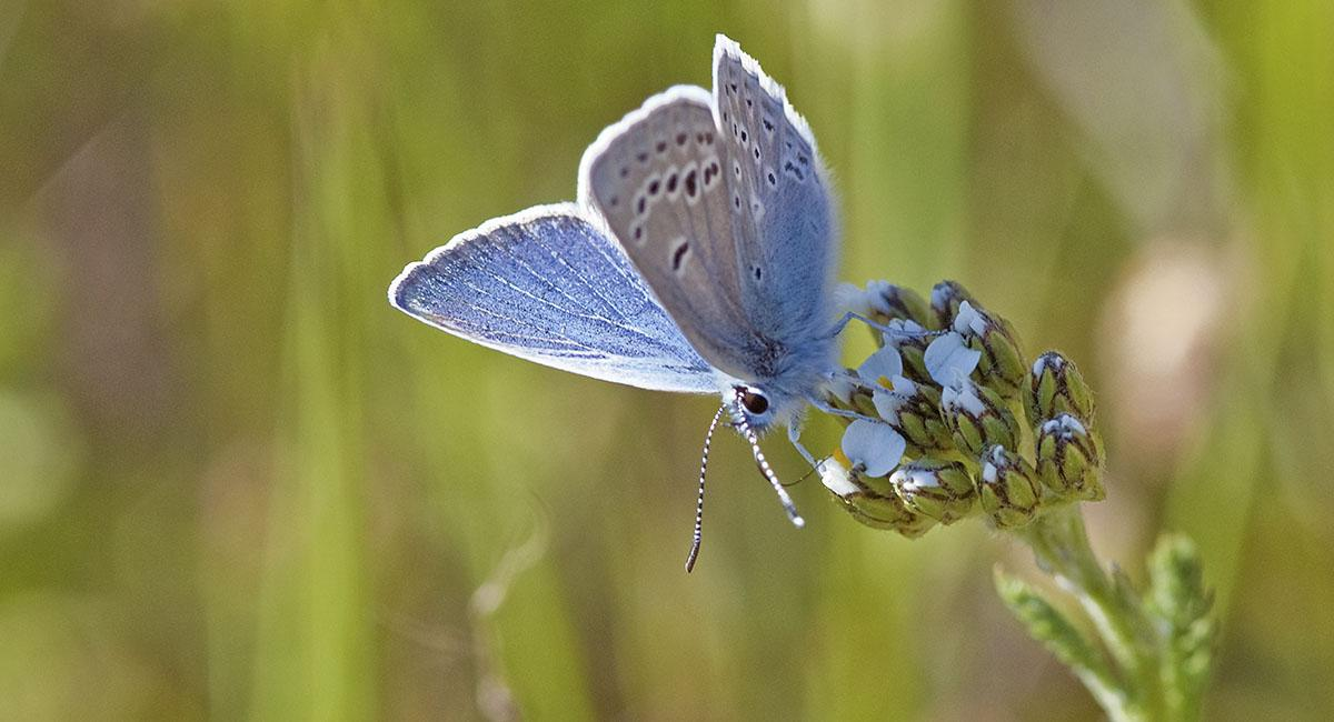 Small blue butterfly with two rows of white-rimmed black dots on the underside of its wings, drinking from a flower