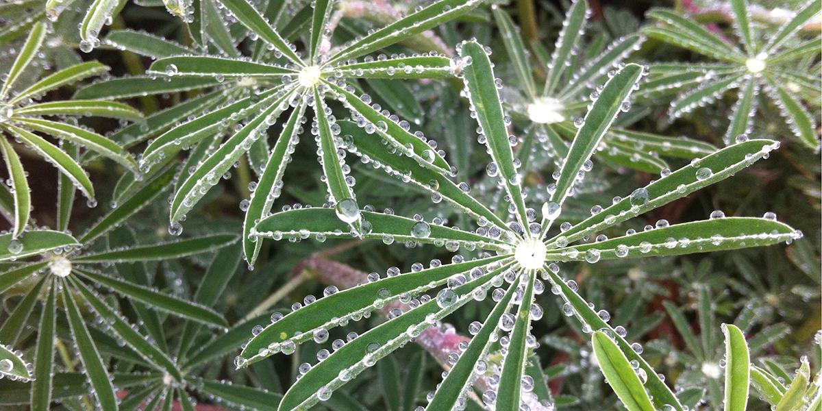 Water drops bejewel some lupine, the host plant for the endangered mission blue butterfly