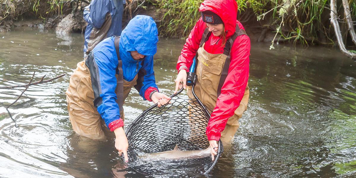 Coho salmon release