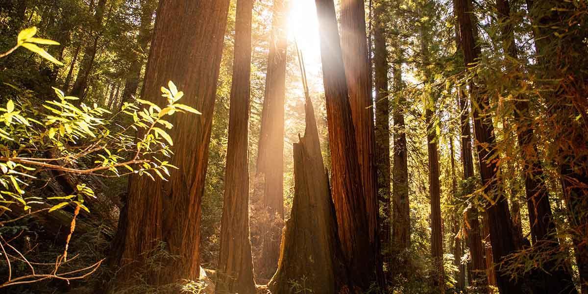 Redwood trees at Muir Woods