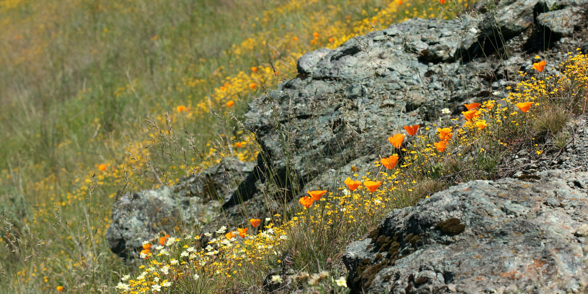 Groups of serpentinite rocks lay among grass and flowers on a hill