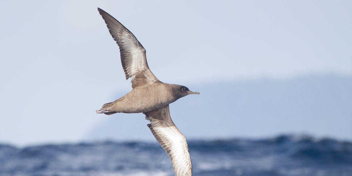 A Sooty Shearwater in flight above the water