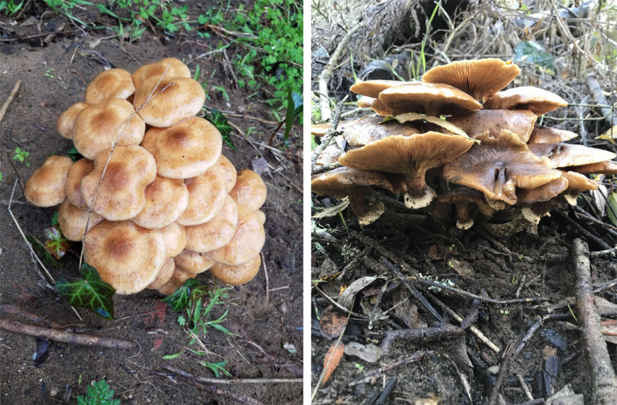 Honey Mushroom (Armillaria mellea) spotted at Lobos Creek in the Presidio.