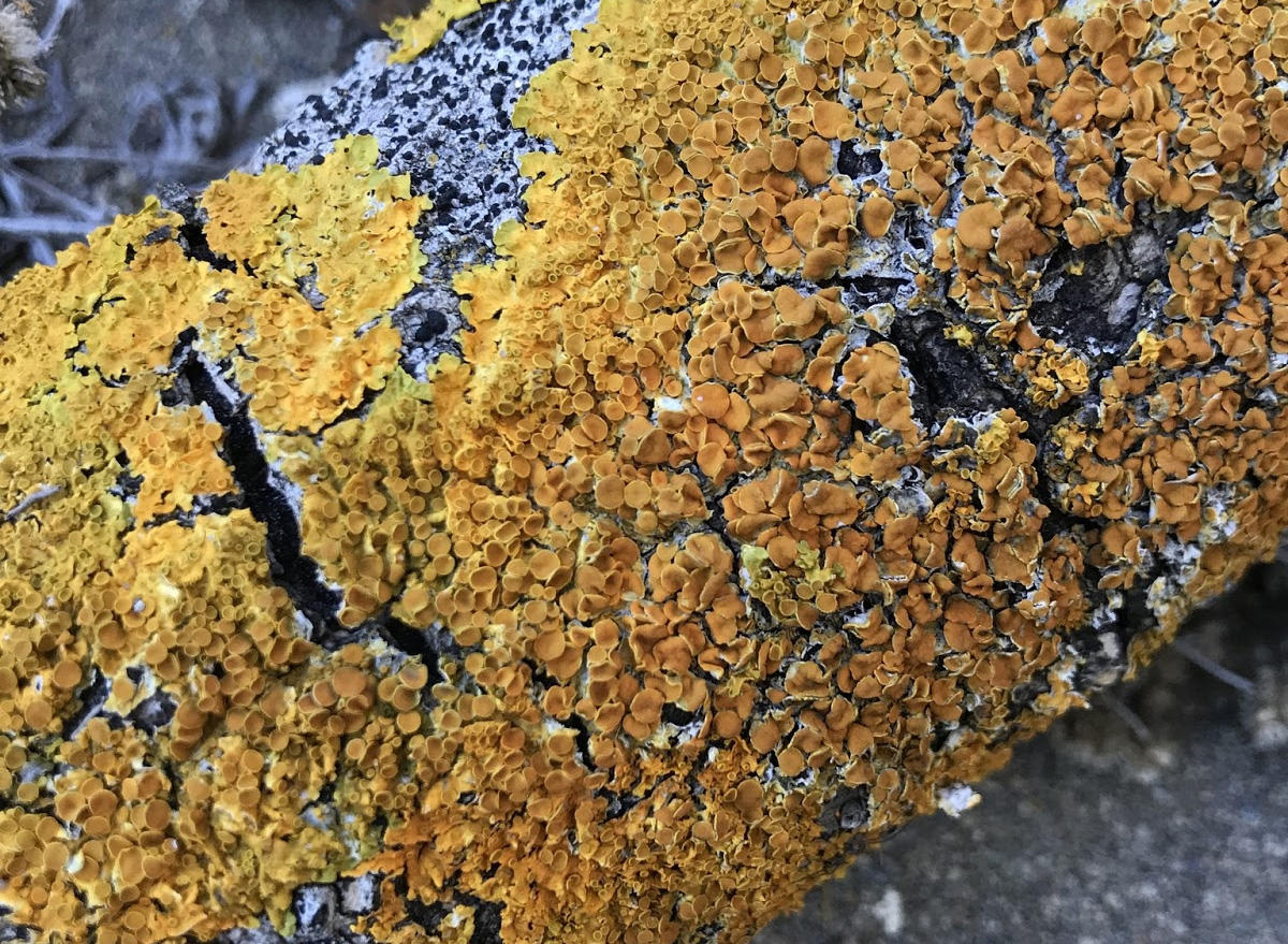 Maritime Sunburst Lichen (Xanthoria parietina) spotted in the Presidio.