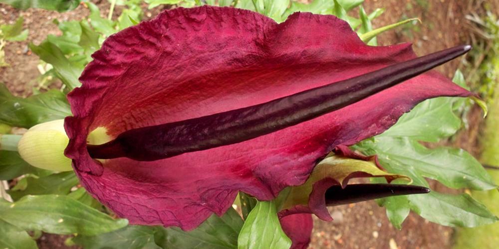 Voodoo lily