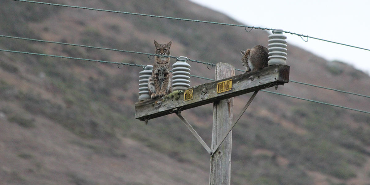 A Golden Gate Raptor Observatory volunteer snapped this photo in the Headlands; no one saw why the bobcats went up the pole, or when they came down.