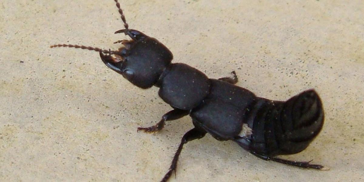 Devil's coach horse beetle