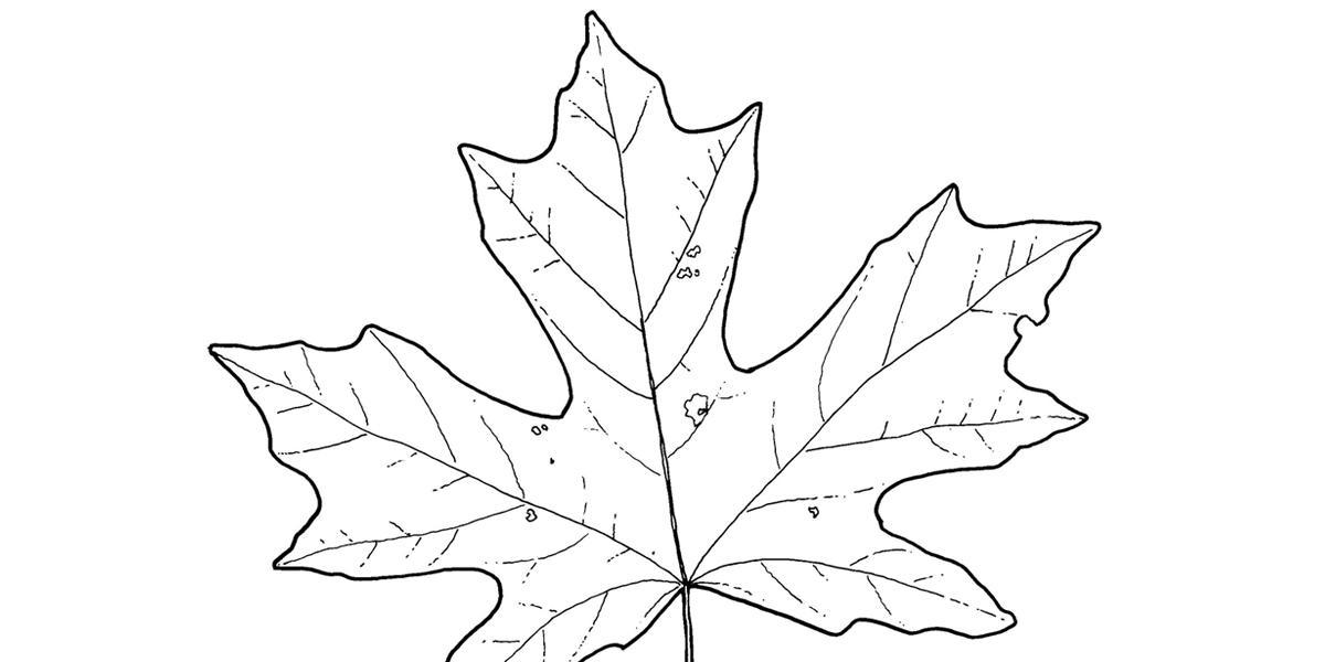 John Muir Laws, Nature Journal Club, Drawing Trees Part 1