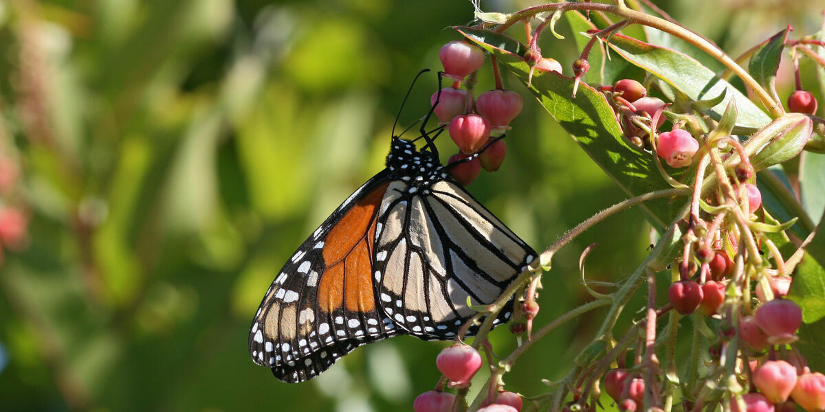 monarch on leaf