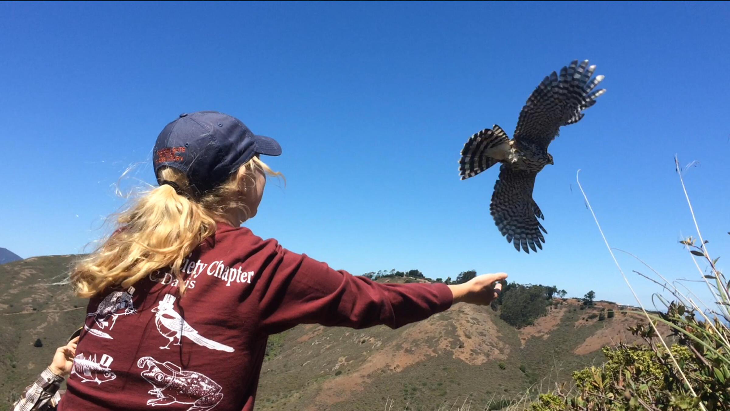 Volunteer Releasing Hawk