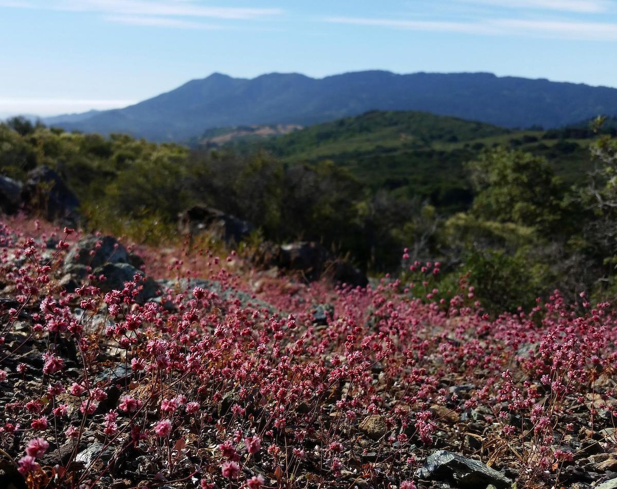 Eriogonum luteolum, Mt. Tam