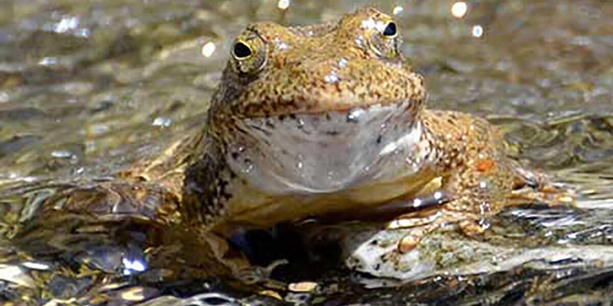 Foothill yellow-legged frog. Credit: Ian Austin