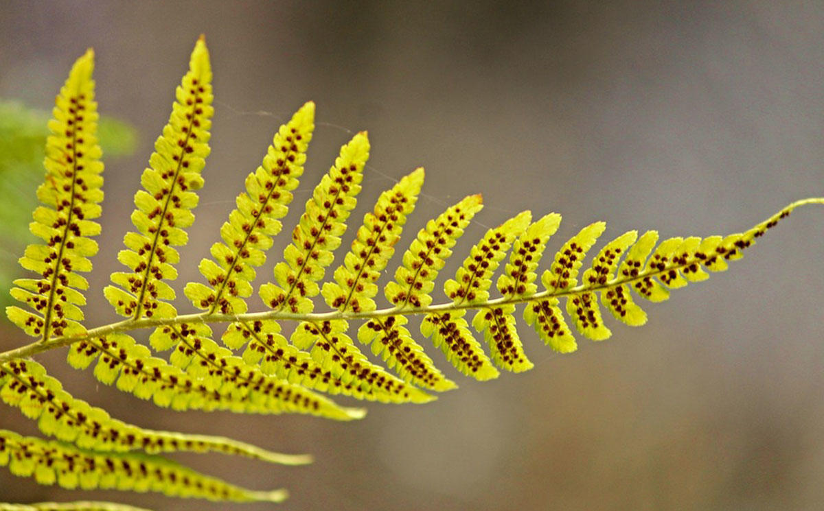 Spores on the underside of a fern leaf.