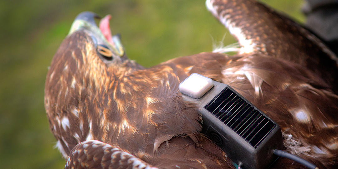 Red-tailed Hawk monitoring