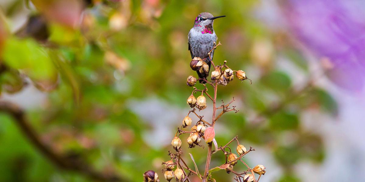 An Anna's hummingbird.