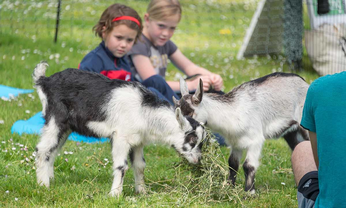 Goats munch on vegetation at Black Point during a cleanup effort and goat yoga party at the Fort Mason site.