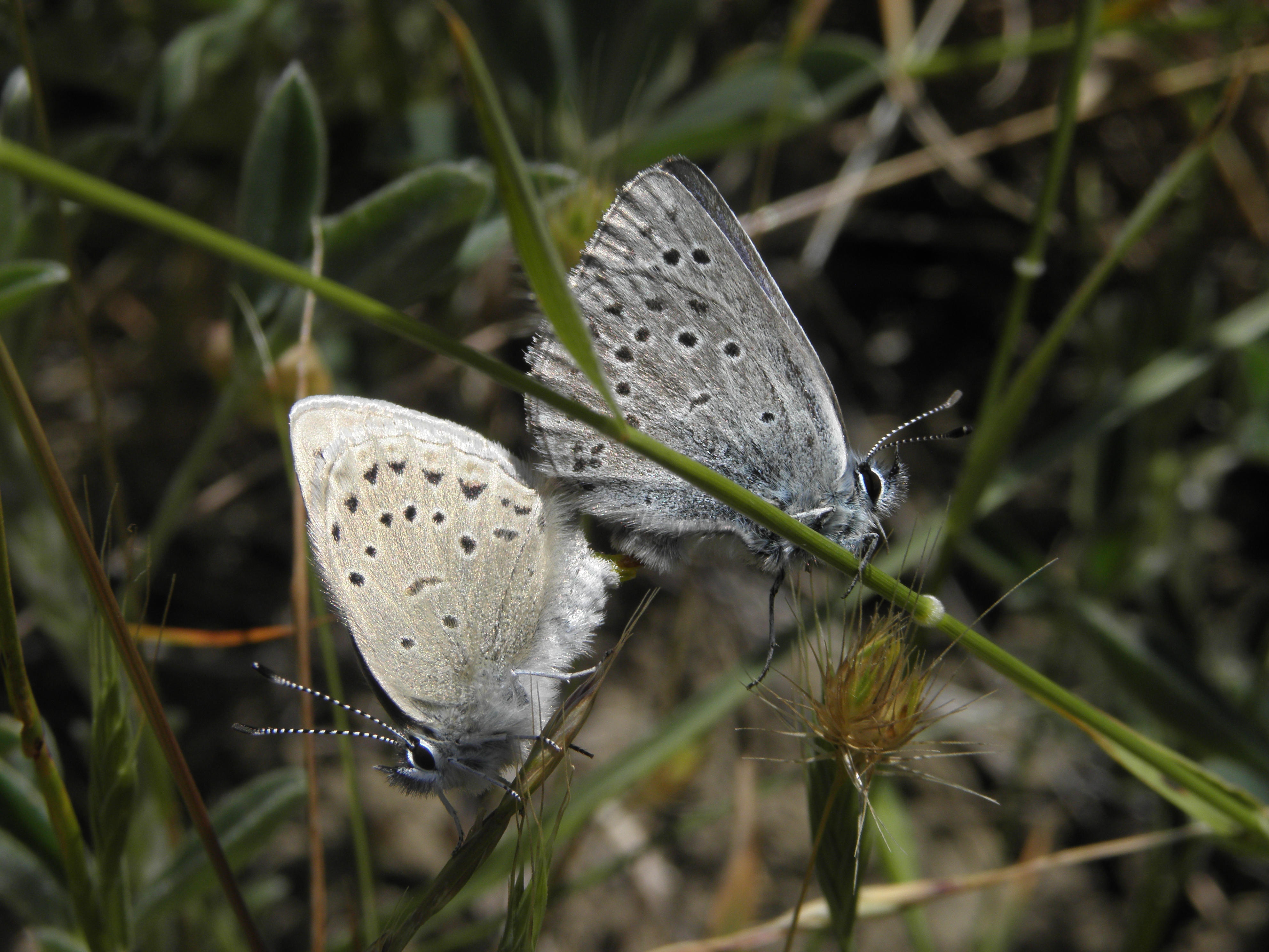 Two mission blue butterflies face opposite each other.