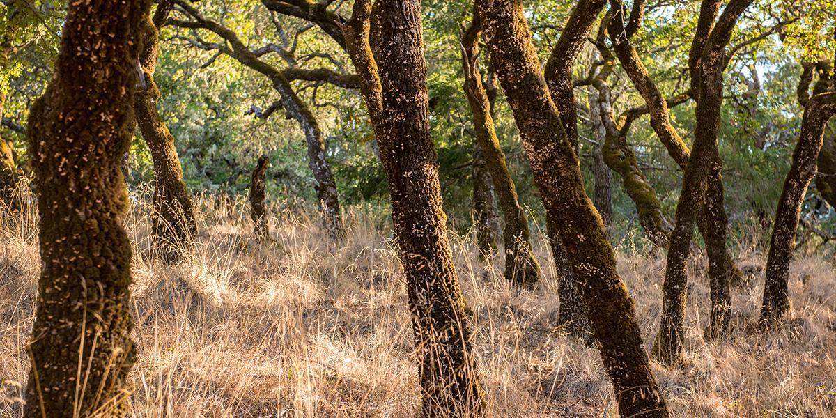 Oak forests on Mount Tamalpais.