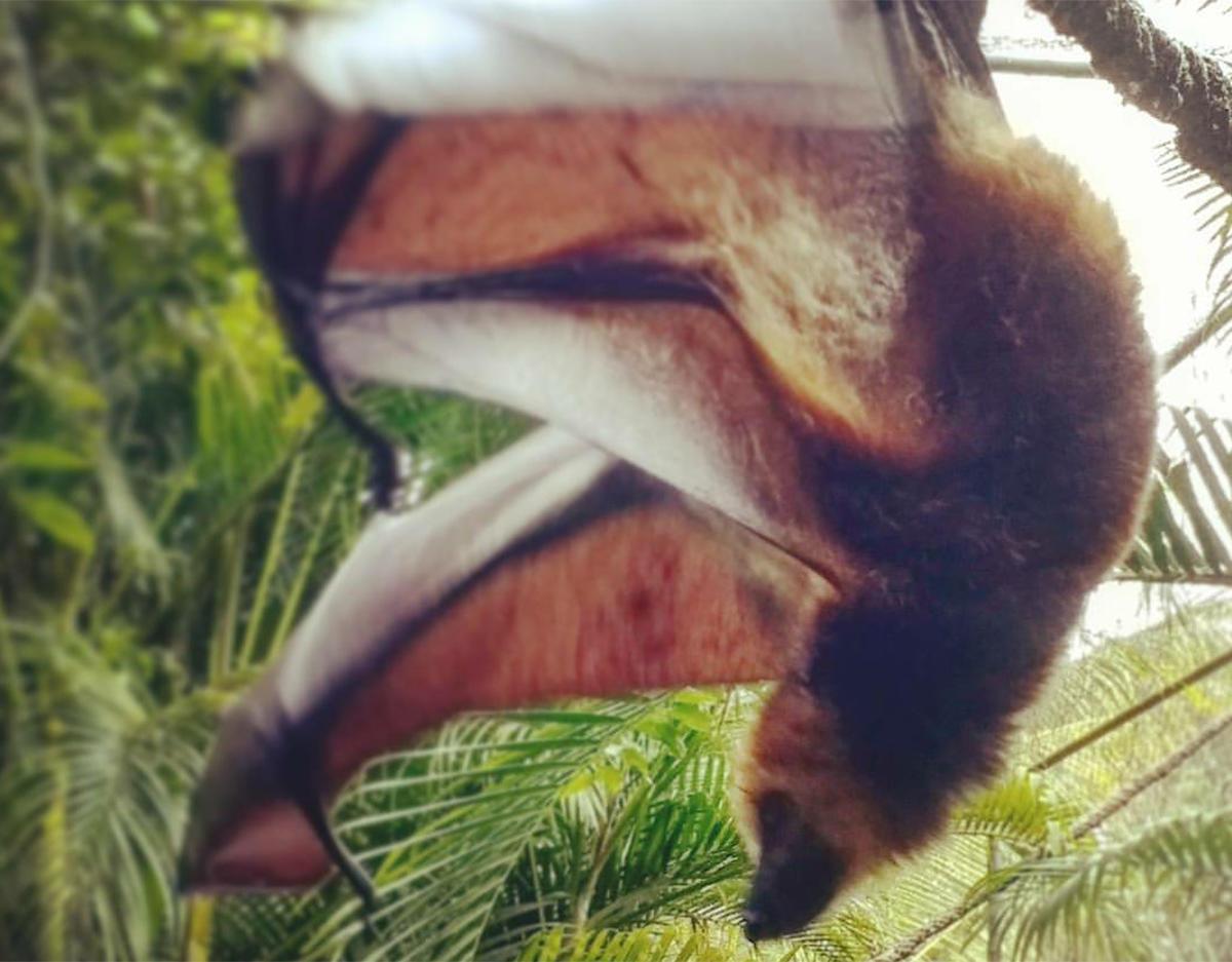 A fruit bat in Mauritius.