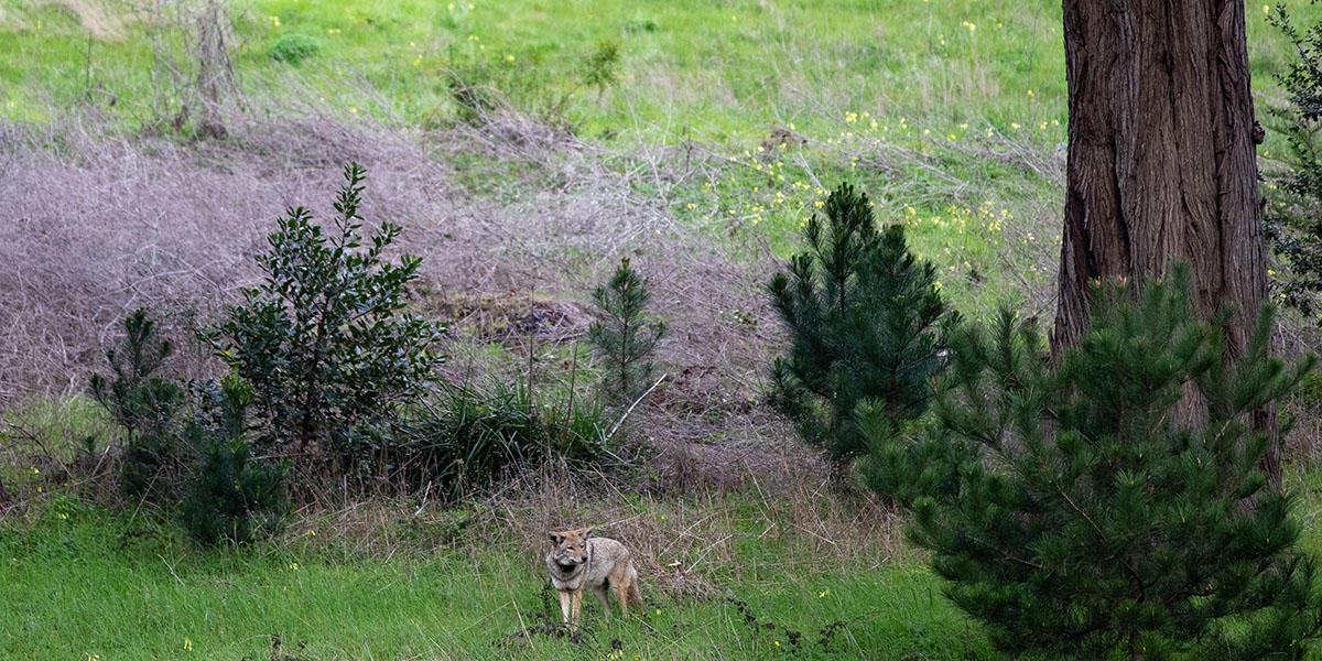 A coyote explores the Presidio of San Francisco.