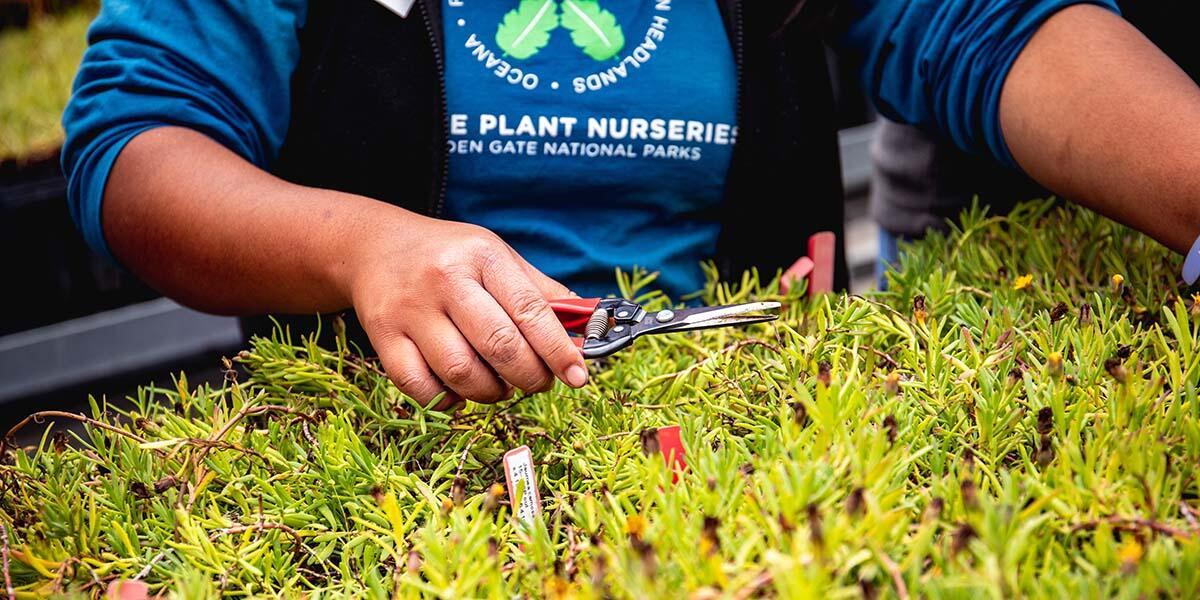 Pruning plants at the Presidio Native Plant Nursery.