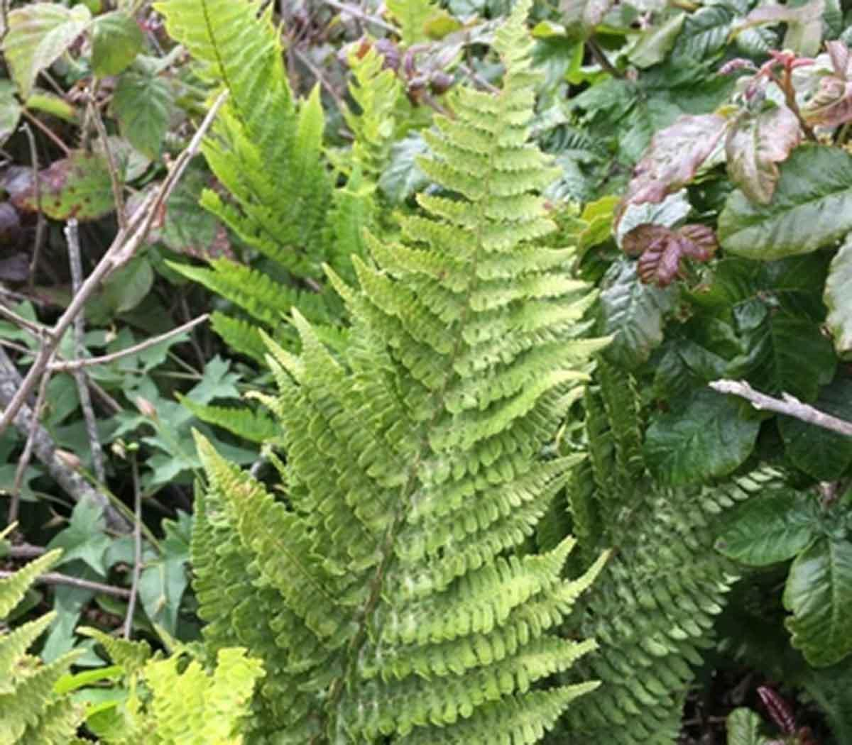 Polypodium californicum, or California polypody.