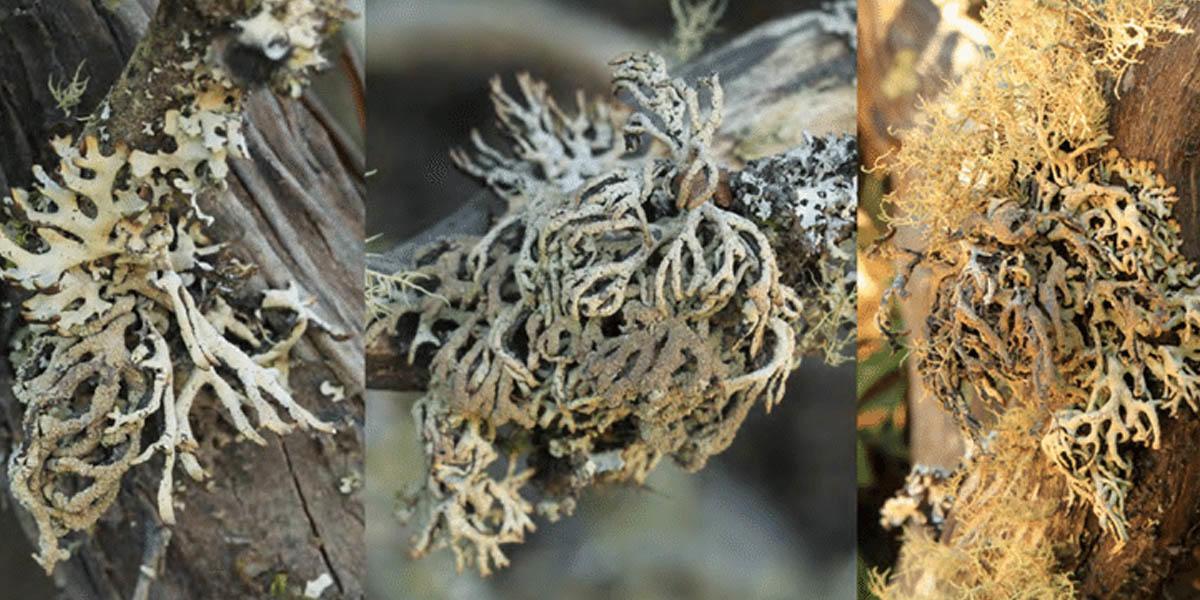 Hypogymnia schizidiata lichen.